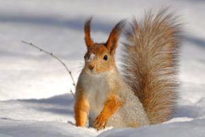 Randonnée en raquettes - observation d'un écureuil dans la neige